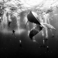 Diving with a humpback whale and her new born calf while they cruise around Roca Partida Island, in Revillagigedo, Mexico.