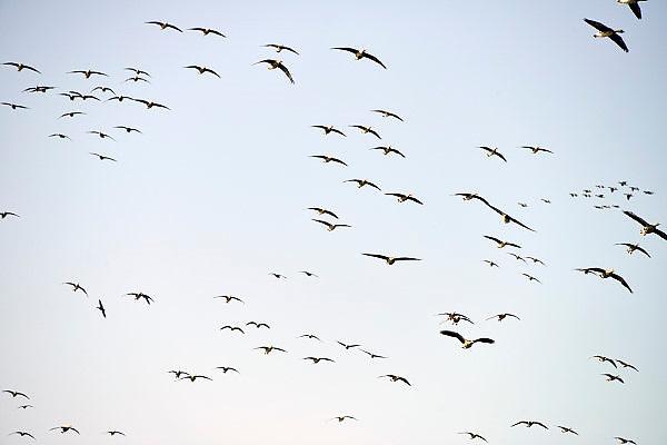Nederland, Ubbergen, 5-3-2013Wilde grauwe ganzen in de Ooijpolder.Elk jaar overwinteren tienduizenden ganzen in de Gelderse Poort en de uiterwaarden langs de rivier de Waal.Foto: Flip Franssen/Hollandse Hoogte