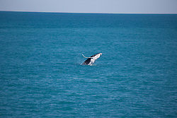 A Humpback whale calf breaches off James Price Point north of Broome.