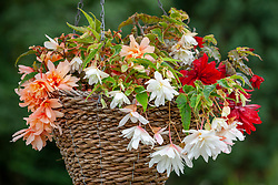 Begonia 'Superstars collection'