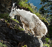 """A mountain goat (Oreamnos americanus) shares the Garden Wall Trail near Logan Pass in Glacier National Park, Montana, USA. The mountain goat is an even-toed ungulate of the order Artiodactyla and the family Bovidae that includes antelopes, gazelles, and cattle. It belongs to the subfamily Caprinae (goat-antelopes), along with thirty-two other species including true goats, sheep, the chamois, and the musk ox. The mountain goat is the only species in the genus Oreamnos. The name Oreamnos is derived from the Greek term oros (stem ore-) """"mountain"""" (or, alternatively, oreas """"mountain nymph"""") and the word amnos """"lamb""""."""