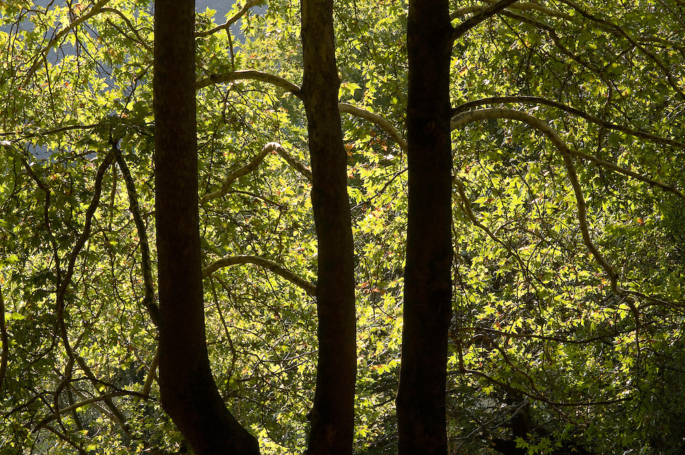 Greece, Meteora, Trunks of Platan trees, Oriental Plane, (Platanus orientalis)