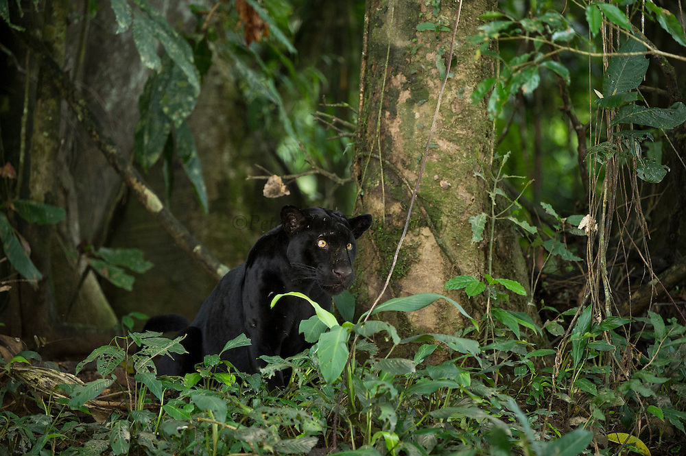 Black Panther or Black Jaguar (Panthera onca) WILD, NON-BAITED.<br /> Yasuni National Park, Amazon Rainforest<br /> ECUADOR. South America<br /> HABITAT & RANGE:  Preferred habitat is dense rainforest. Mexico across much of Central America south to Paraguay and northern Argentina.<br /> IUCN STATUS: Near Threatened.