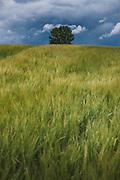 Crop field of wheat with a single oak tree behind the hill just a moment before rainfall, near Priekule, Latvia Ⓒ Davis Ulands | davisulands.com