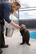 Mammalogist Margaret Black is feeding the sea otter named Bishop. On New Year's Day the Alaska SeaLife Center's Wildlife Response Team rescued a otter pup on Bishop's Beach, in Homer. He was in a bad shape at the time and is now recovered and grown up. <br /> <br /> The Alaska SeaLife Center, Seward, Alaska, USA<br /> <br /> Photographer: Christina Sjögren<br /> <br /> Copyright 2019, All Rights Reserved