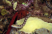 sharptail eel, Myrichthys breviceps, <br /> hunting at night on coral reef<br /> Commonwealth of Dominica ( Eastern Caribbean Sea )