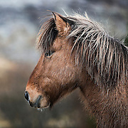Horse Portrait, The Icelandic Horse