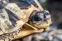 Angulate Tortoise, Fernkloof Nature Reserve, Hermanus, Western Cape, South Africa