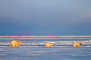 A polar bear mom with two cubs in Kaktovik, Alaska