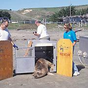 Northern Elephant Seal, (Mirounga angustirostris)  Volunteers from Marine Mammal Center releasing Kona at Point Reyes Seashore California.