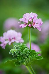 Scented Pelargonium 'Attar of Roses'