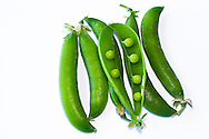 Fresh pea pods from a Fraser Valley organic vegetable garden in British Columbia, Canada