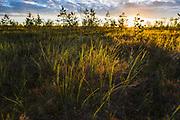 "Plant community of heather fields in sunrise, protected landscape area ""Ādaži"", Latvia Ⓒ Davis Ulands | davisulands.com"