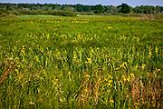 Trawy na łąkach nad Biebrzą  w okolicach Goniądza