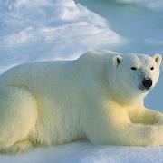 Polar Bear portrait of an adult resting. Hudson Bay, Canada