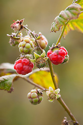 Wild raspberry. Rubus idaeus