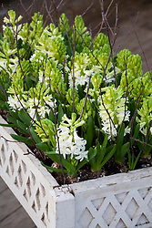 Forced white hyacinths in wooden table planter - Hyacinthus L'Innocence'