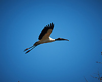Wood Stork in flight over Big Cypress Swamp. Image taken with a Nikon D3x camera and 70-200 mm f2.8 lens (ISO 100, 200 mm, f/2.8, 1/2500 sec).