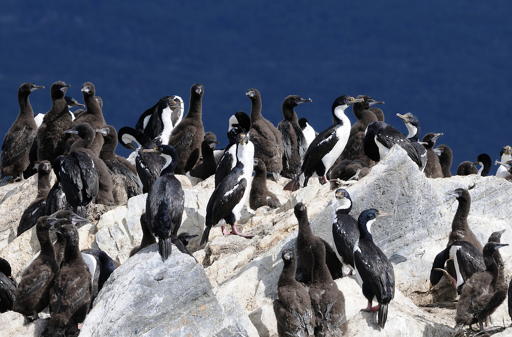 Adult and immature Imperial Shags (Phalacrocorax atriceps) on a rocky island in the Beagle Channel. Ushuaia, Argentina. 13Feb16