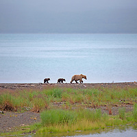 USA, Alaska, Katmai. Grizzly sow and cubs on waterfront.
