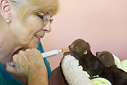 Hoffmann's Two-toed Sloth <br /> Choloepus hoffmanni<br /> Judy Avey-Arroyo, owner of sloth sanctuary, feeding two week old orphaned twins<br /> Aviarios Sloth Sanctuary, Costa Rica<br /> *Rescued and in rehabilitation program<br /> *Model release available