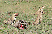 Africa, Kenya, Samburu National Reserve, Cheetah (Acinonyx jubatus) Eating the carcass of a wildebeest
