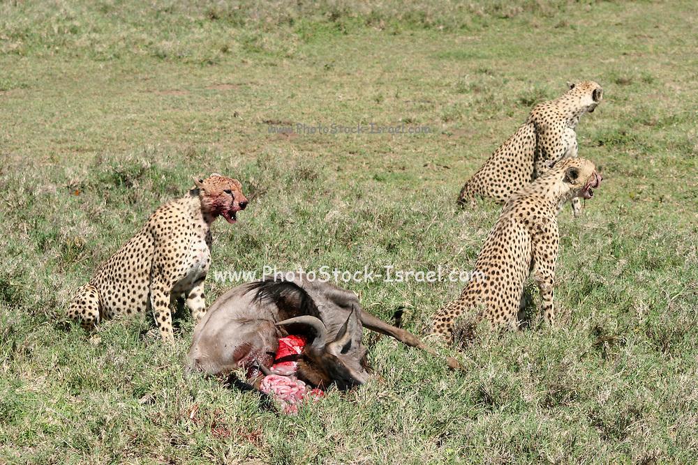 Africa, Kenya, Samburu National Reserve, Cheetah (Acinonyx jubatus) Eating the carcass of a wildebeest