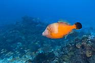 Whitespotted filefish (Cantherhines macroceros)