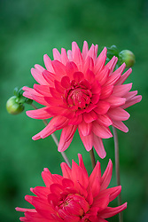 Rene says he thinks this is Dahlia 'Bergers Record' (a red 'Ludwig Helfert')