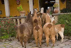 South America, Ecuador, Lasso, llamas leaving courtyard of Hacienda San Agustin de Callo   PR