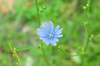Native to Europe, this strikingly beautiful blue wildflower is now found growing wild all across North America and is a very important food for livestock, and as a coffee substitute or coffee-additive. Anyone familiar with some of the wonderful coffees from the New Orleans area will be very familiar with chicory coffee, which is very similar with a somewhat nutty taste, that is made from the roasted and ground roots. This one was found growing wild in at the edge of a field in Northern Arkansas.