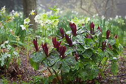 Trillium chloropetalum in front of hellebores in the woodland garden at Glebe Cottage
