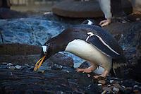 Penguin Moving Stones for a Nest at the Akvariet i Bergen (Bergen Aquarium). Image taken with a Nikon 1 V2 and 30-100 mm VR lens (ISO 200, 110 mm, f/5.6, 1/640 sec).