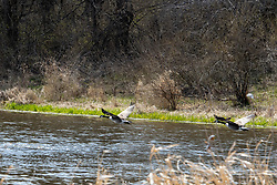 Canadian Geese (Branta canadensis) flying low over a small pond