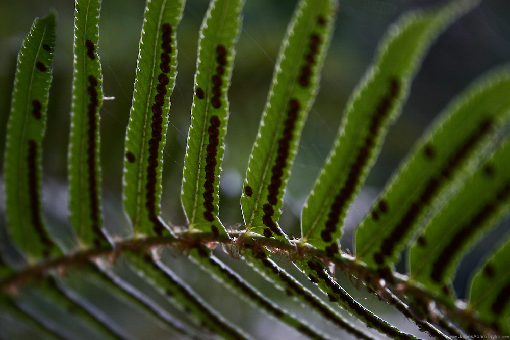 The morning sun reveals a delicate lace of spiderwebs a fern frond.