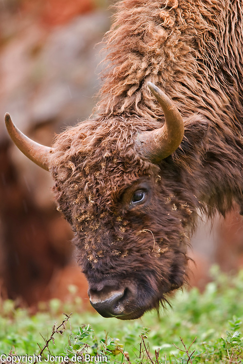 A male Bison is grazing in the Wildlife Park of Cabárceno in Spain.