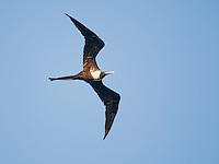 Female magnificent frigatebird, Fregata magnificens, near the mouth of the Tarcoles River, Costa Rica