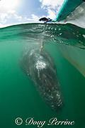 a visitor reaches down to touch a friendly gray whale calf, Eschrichtius robustus, San Ignacio Lagoon, El Vizcaino Biosphere Reserve, Baja California Sur, Mexico