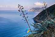 Agave plants photographed along the Cinque Terre trail.
