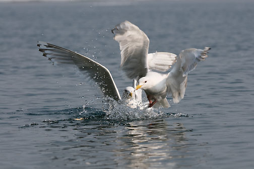 Herring Gull going after cracker thrown by tourists