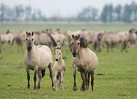 Konik horse family. Oostvaardersplassen, Netherlands. Mission: Oostervaardersplassen, Netherlands, June 2009.