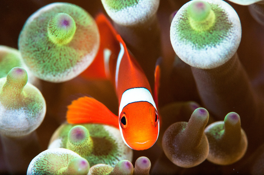 Portrait of False clown anemonefish (Amphiprion ocellaris).