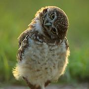 Burrowing Owl (Athene cunicilaria) portrait of a juvenile next to a burrow, craning its neck. Florida