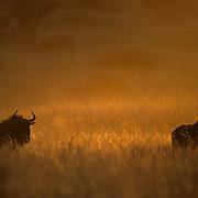 Blue Wildebeest, (Connochaetes taurinus) Walking through tall bushveld grass in late evening sun. Kalahari Desert. Africa.