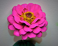 Pink Zinnia Flower. Image taken with a Fuji X-T3 camera and 80 mm f/2.8 OIS macro lens (ISO 160, 80 mm, f/8, 1/60 sec)