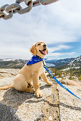 """""""Puppy Above Donner Lake 1"""" - Photograph of Golden Retriever puppy Quill with Donner Lake and Truckee, California in the background."""