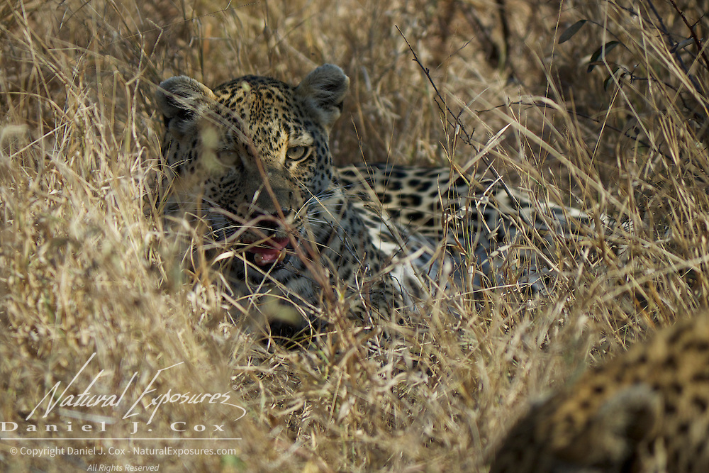 Leopard, the female snarls as the male gets back up and starts trying to escape. Timbavati Game Reserve, South Africa.