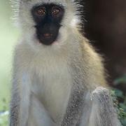 Vervet Monkey, (Cercopithecus aethiops) Masai Mara Game Reserve. Kenya. Africa.