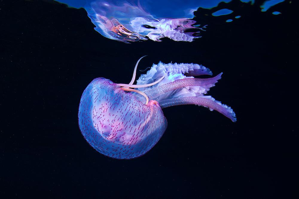 10/Enero/2015 Islas Baleares., Ibiza.<br /> Medusa, Pelagia noctiluca, en la inmersión de Agujeros Azules con Subfari Portinatx.<br /> <br /> © JOAN COSTA
