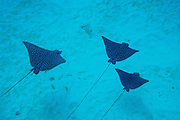 Spotted Eagle Ray trio seemingly glide over the sandy bottom off the coast of Belize.